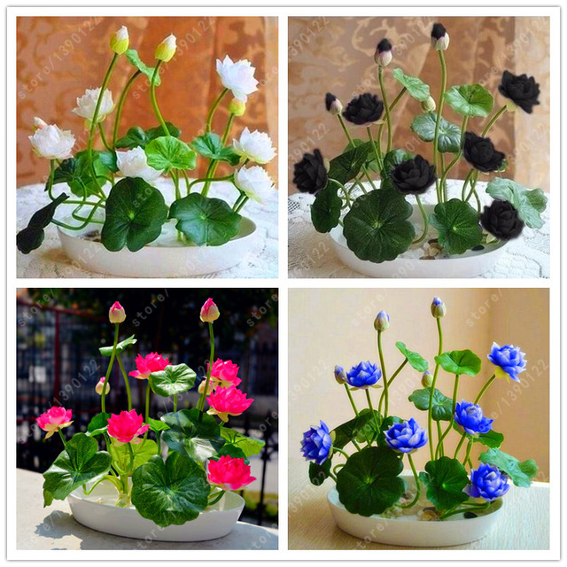Rare bowl lotus nelumbo nucifera mixed aquatic bowl lotus flower 10 rare bowl lotus nelumbo nucifera mixed aquatic bowl lotus flower 10 seeds plantslive buy plants online india mightylinksfo