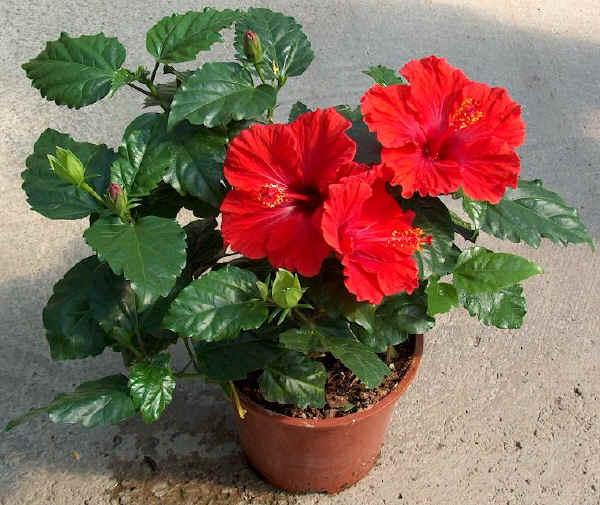 hibiscus plant plantslive buy plants online india. Black Bedroom Furniture Sets. Home Design Ideas