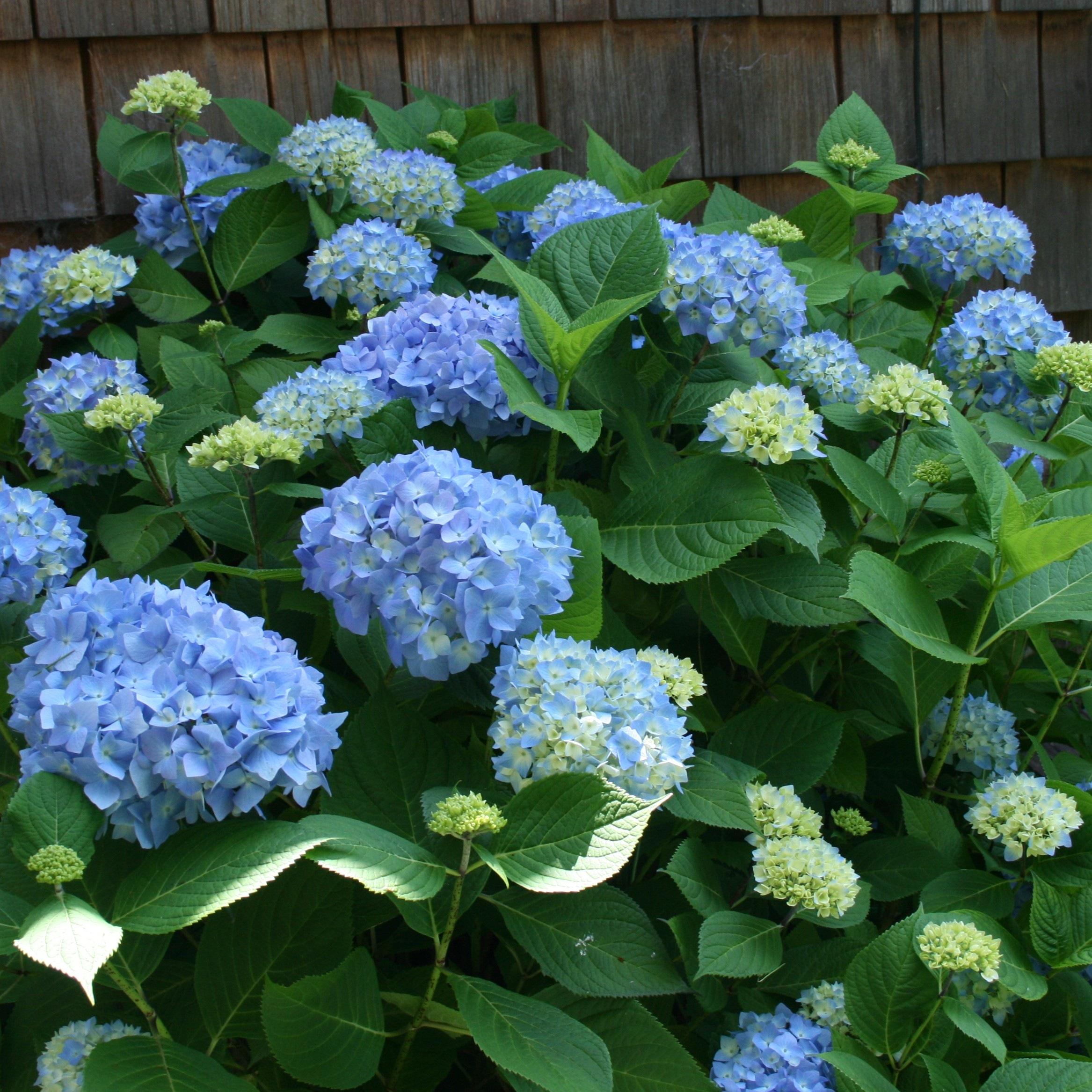 Hydrangea Macrophylla Blue Plant Plantslive Buy