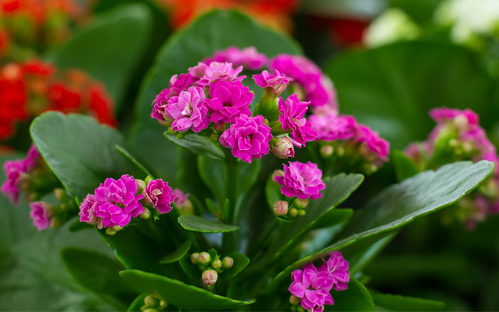 Kalanchoe pink plant plantslive buy plants online for Small indoor flowering plants