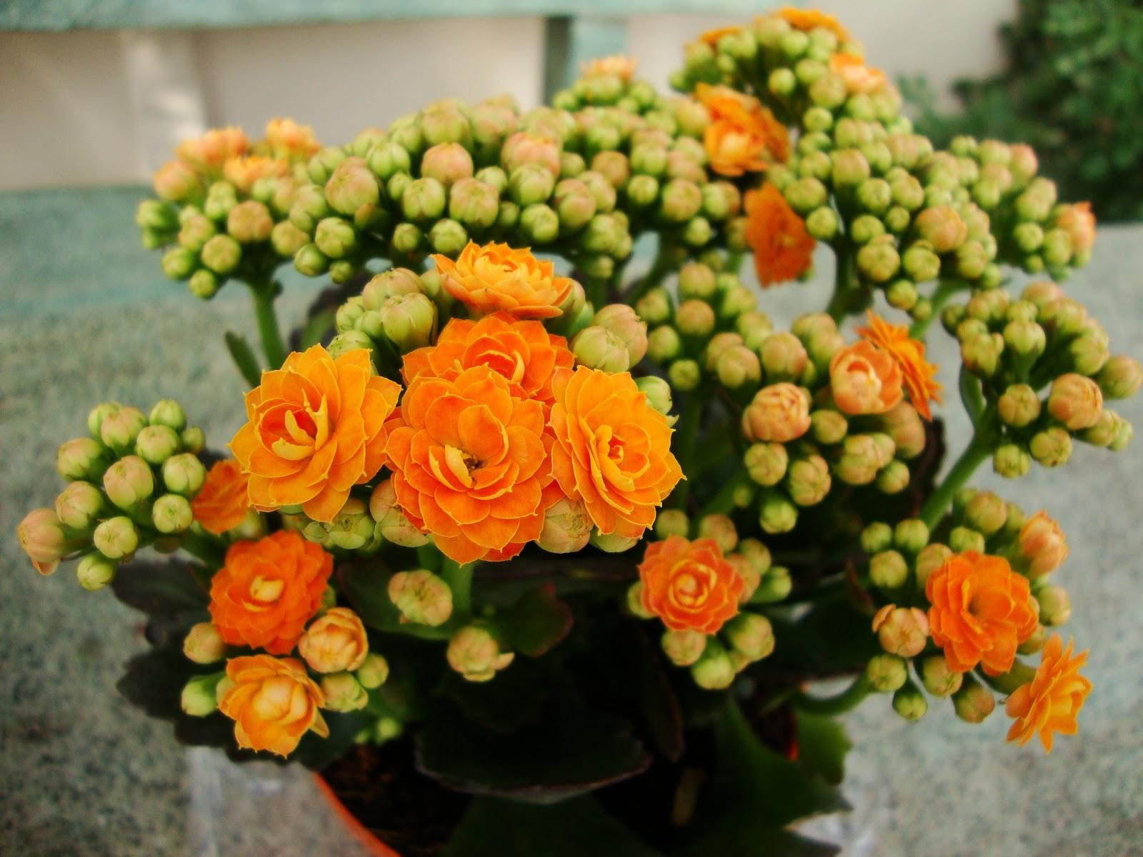 kalanchoe orange plant buy plants online india. Black Bedroom Furniture Sets. Home Design Ideas