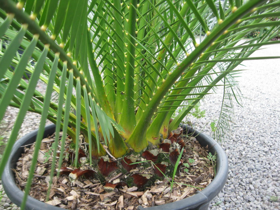 Macrozamia moorei plant buy plants online india for Buy plans online