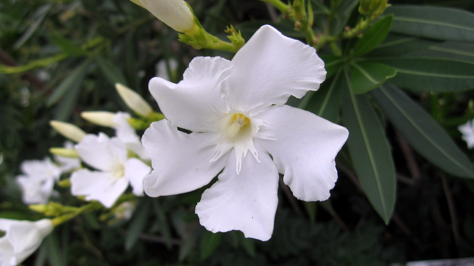 Kaner nerium oleander white double plant plantslive buy ps images are for reference purpose only mightylinksfo