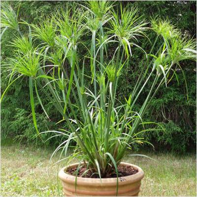Cyperus Papyrus Plant Plantslive Buy Plants Online India