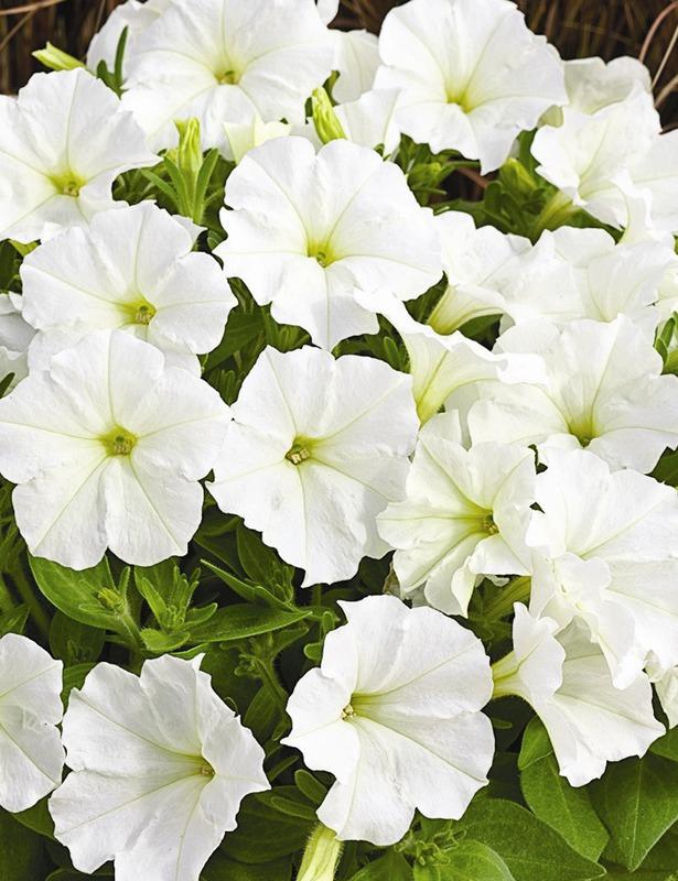 Petunia plants seasonal plantslive buy plants online for Buy plans online