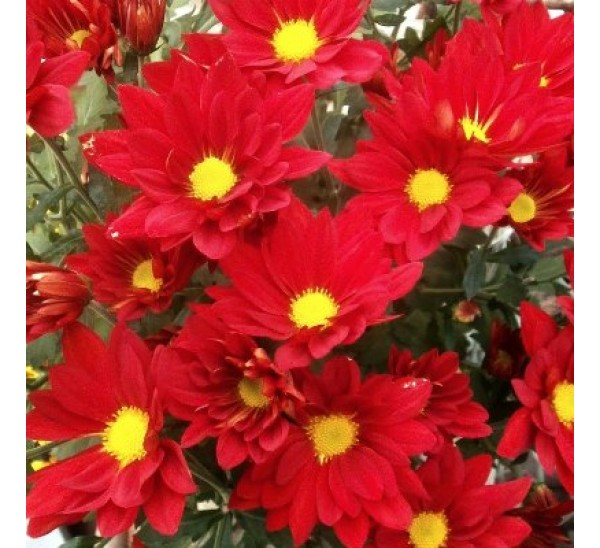 Shevanti flowering plants plantslive buy plants online for Buy plans online