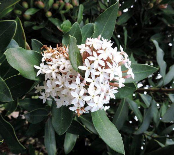 plantslive-Acokanthera spectabilis - Plant