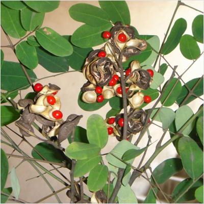 plantslive-adenanthera-ratan-gunj