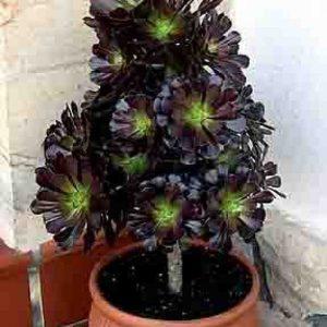 plantslive-Aeonium arboreum - Plant