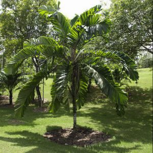 plantslive-Aiphanes erosa: A. minima: Martinezia erosa. - Plant