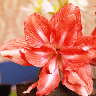plantslive-amaryllis-red-double
