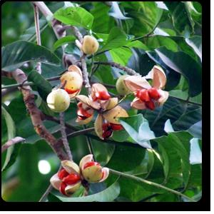 plantslive-Amoora Rohituka - Plant