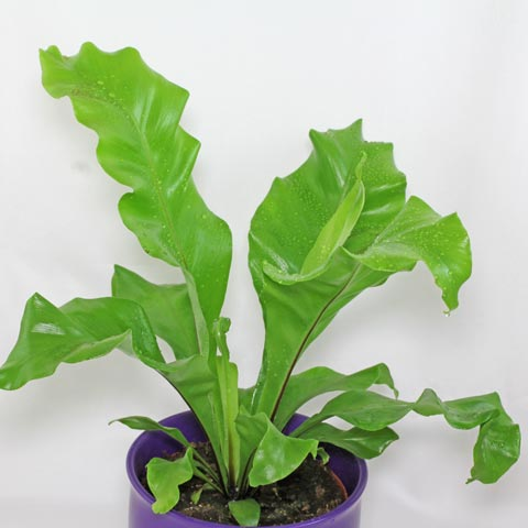 plantslive-Asplenium nidus fimbriatum - Plant