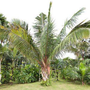 plantslive-Attalea cohune - Plant