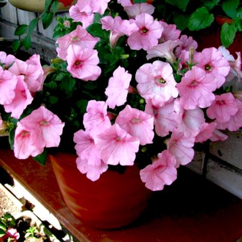 plantslive-baby-pink-petunia-plant