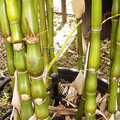 plantslive-Bambusa Ventricosa, Buddha Belly Bamboo - Plant