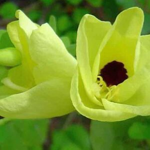 plantslive-Bauhinia Tomentosa, Yellow Bauhinia - Plant
