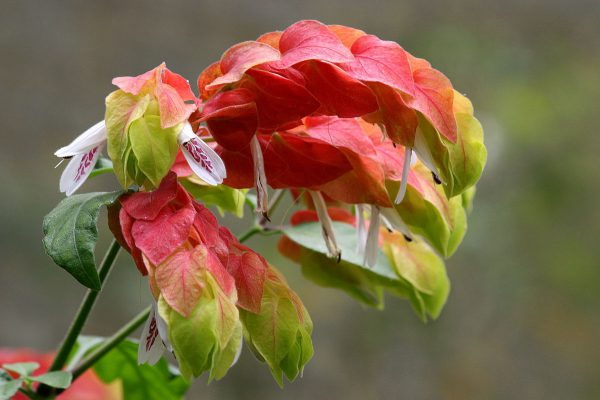 plantslive-Beleperone species - Plant