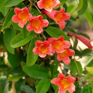 plantslive-Bignonia purpurea - Plant