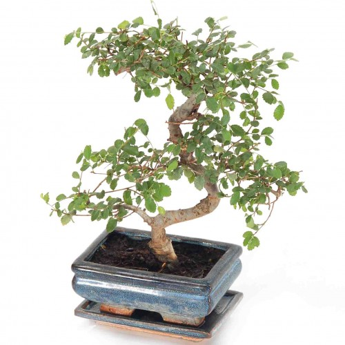 plantslive-Bonsai Ulmus - Plant
