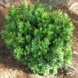 plantslive-Buxus Microphylla Japonica - Plant
