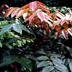 plantslive-Canarium Strictum, Dammar - Plant