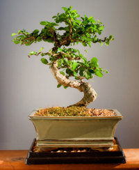 plantslive-Carmona microphylla bonsai - Plant
