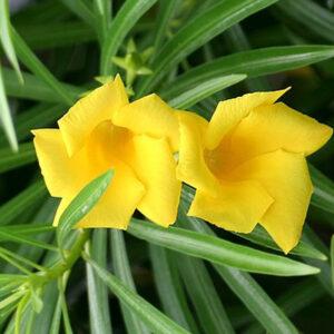 plantslive-Cascabela Thevetia-seeds