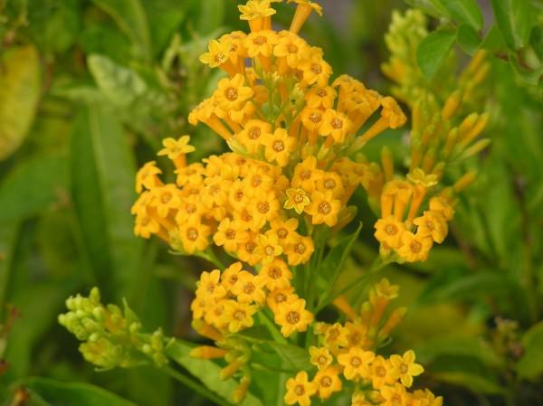 plantslive-Cestrum aurantiacum - Plant