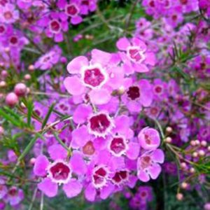plantslive-Chamelaucium uncinatum - Plant
