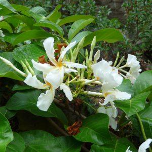 plantslive-Chonemorpha macrophylla - Plant