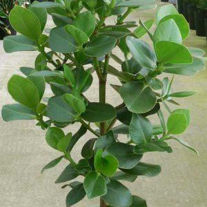 Clusia rosea marginata - Plant