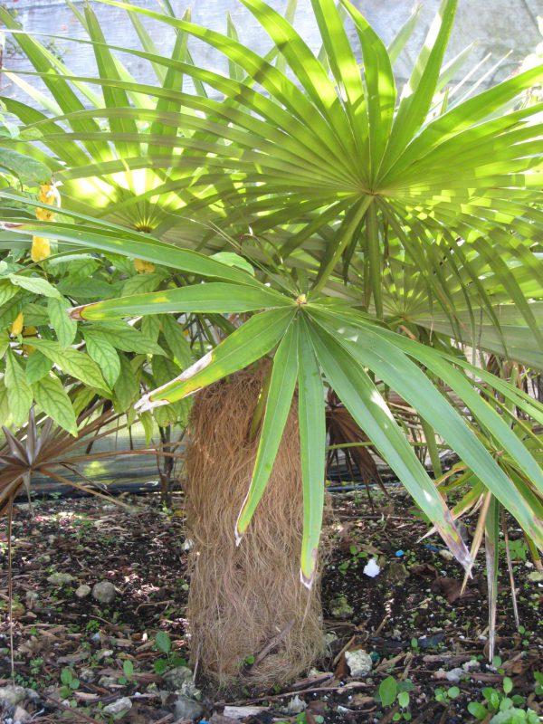 plantslive-Coccothrinax crinita - Plant
