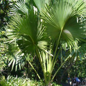 plantslive-Corypha umbraculifera - Plant