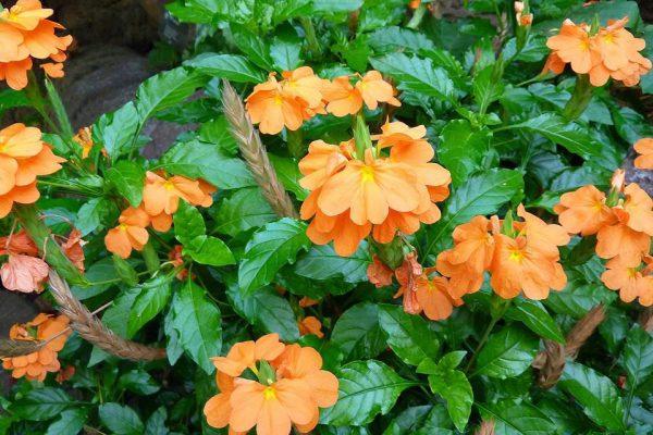 plantslive-Crossandra undulaefolia rubra - Plant