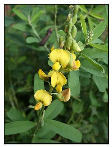 plantslive-Crotalaria retusa - Plant