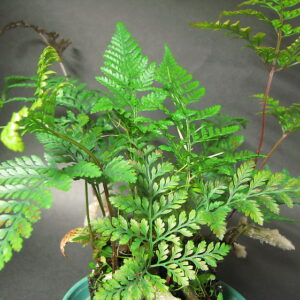plantslive-Davallia griffithiana - Plant