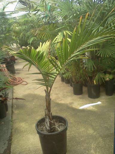 plantslive-Dictyosperma album variety rubrum - Plant