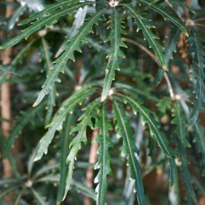plantslive-Dizygotheca kerchoveana - Plant