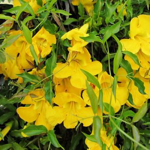 plantslive-Dolichandra Unguis, Cat's Claw - Plant
