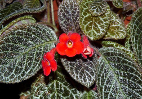plantslive Episcia cuperata - Plant