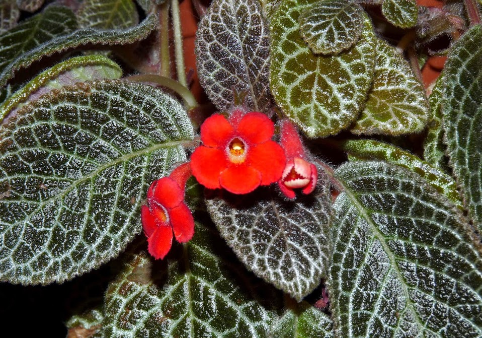 Episcia cuperata plant buy plants online india for Buy plans online