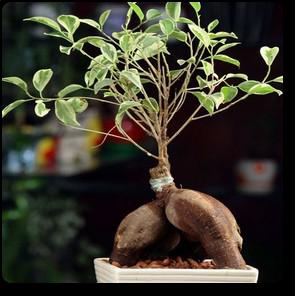 plantslive-Ficus Iceland - Plant