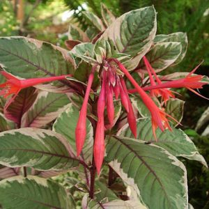 plantslive-Fuchsia triphylla - Plant