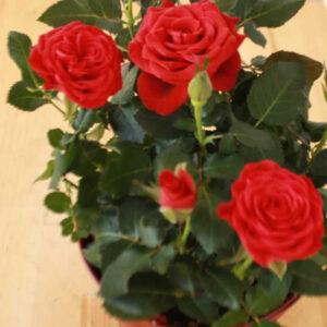 plantslive-gladiator-red-rose-plant