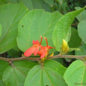 plantslive-Helicteres isora - Plant