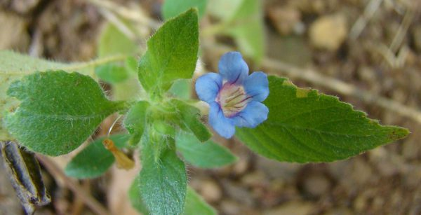 plantslive-Hemigraphis Latebrosa, Ruellia Labetrosa - Plant