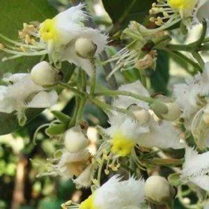 plantslive-Hiptage madablota - Plant