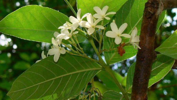 plantslive-Holarrhena pubescens - Plant