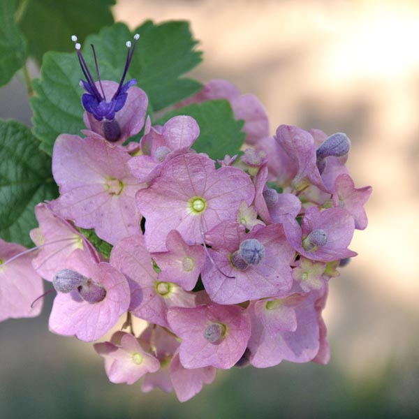 plantslive-Holmskioldia taitensis - Plant